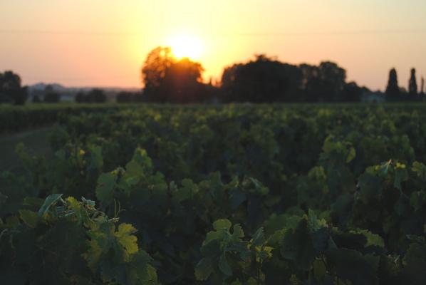La Vigne, La Terre, L'Homme